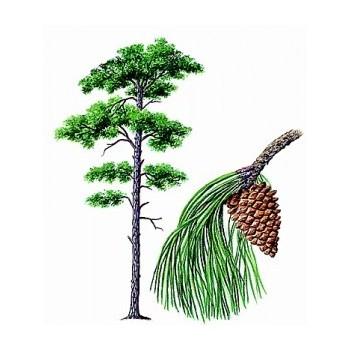 Hammam pine tonic - fresh and spicy aromas aromatherapy mist